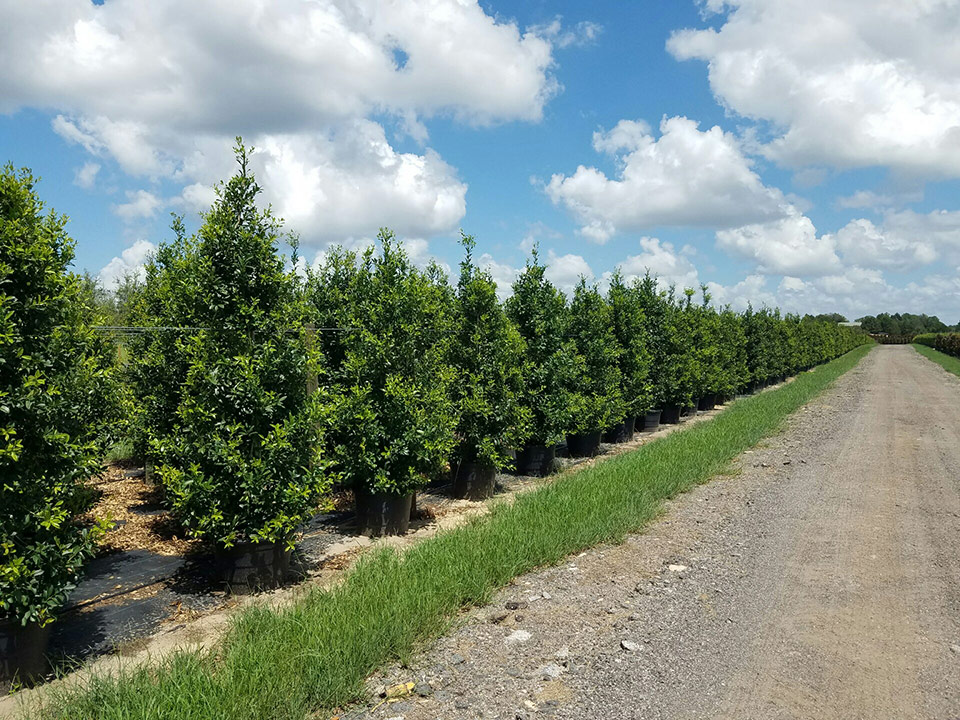 Central Florida Tree Farm